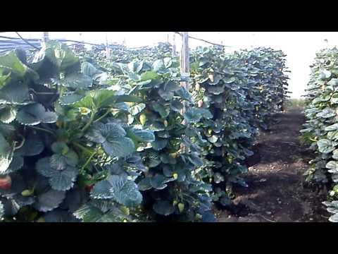Hidroponia vertical fresas 4
