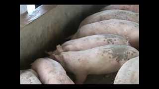 getlinkyoutube.com-Babuyang Walang Amoy/Profitable Innovative Growing System/Natural Hog Raising in Tagaytay Part 1