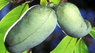 getlinkyoutube.com-Planting Paw Paw Fruit Trees - Food Forest Update, Wild American Fruit!!!!