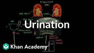getlinkyoutube.com-Urination | Renal system physiology | NCLEX-RN | Khan Academy