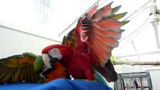 getlinkyoutube.com-Breeding pair of macaws give warning by spreading their wings