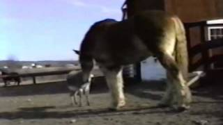getlinkyoutube.com-Hilarious, Donkey Yells at Huge Belgian (Clydesdale) Horse! Awesome