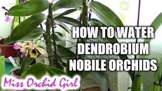 getlinkyoutube.com-How to water Dendrobium Nobile orchids - Tips for healthy orchids