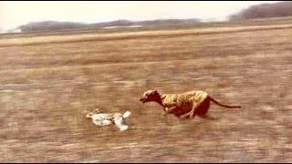 getlinkyoutube.com-Dog hunting rabbit