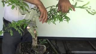getlinkyoutube.com-Bonsai Experiment: Tamarind Ground Layering and Restyling