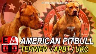 getlinkyoutube.com-AMERICAN PITBULL TERRIER (APBT) Standard UKC, Historia, caracteristicas, cuidados y salud.