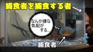 getlinkyoutube.com-《SHOCK!!衝撃映像》ピラニアの飼育方法① piranha V. mammy 捕食されても動き回る和金の驚愕生態映像。