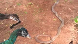 getlinkyoutube.com-Battle at Kaikatty Peacocks vs cobra.