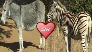 getlinkyoutube.com-Zebra Mating with Donkey.