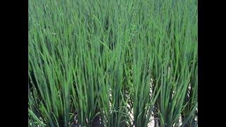 getlinkyoutube.com-Выращивание лука пера из семян