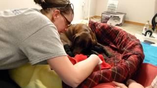 getlinkyoutube.com-labrador puppy difficult birth, but he's a survivor