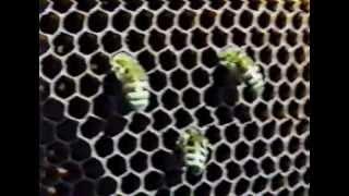 getlinkyoutube.com-Размножение и развитие пчёл