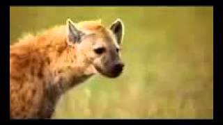 getlinkyoutube.com-انظر كيف عاقب الضباع الفهد بعد أكله لضبع صغير