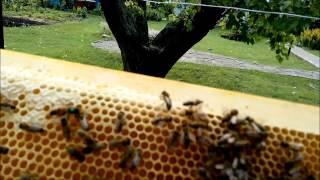 getlinkyoutube.com-Пчеловодство(прием не плодных маток Бакфаст)Beekeeping (receiving no fetal Buckfast queens)