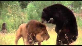 getlinkyoutube.com-صارع الأسد مع الدب