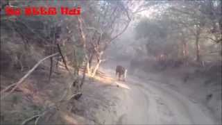 getlinkyoutube.com-Attack of Tiger on Tourist Jeep in Ranthambore National Park l Rajasthan Sawai Madhopur l India