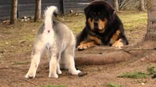getlinkyoutube.com-Alaskan Malamute puppy playing with Tibetan Mastiffs