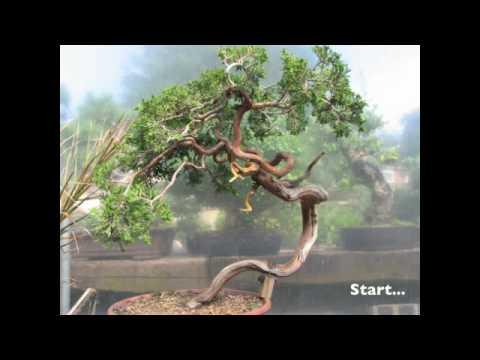 Bonsai Styling - Yamadori Juniper By Graham Potter