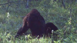 getlinkyoutube.com-Real Bigfoot Caught Laying Down on Camera 2015?! Bigfoot Evidence/Proof