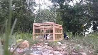 getlinkyoutube.com-Jebak burung kacer mantap bro