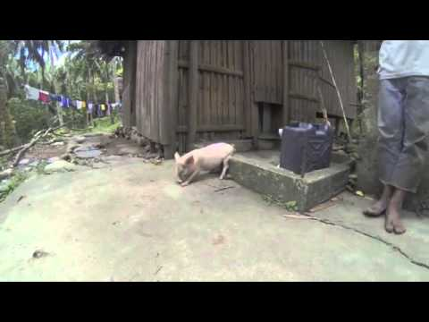 Little Piglet Scratching its Ass