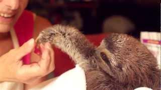 赤ちゃんはどんな動物でも可愛いんだな。ナマケモノの赤ちゃん