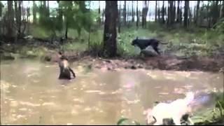 getlinkyoutube.com-كنغر استرالى يضرب كلب مضحك جدا