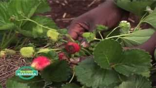 getlinkyoutube.com-Money Making: Strawberries grown in bags in Kenya