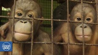getlinkyoutube.com-Full Documentary - Tourism vs Extinction
