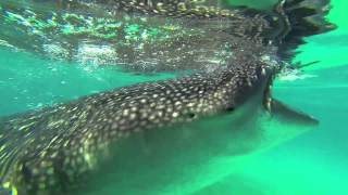 getlinkyoutube.com-Oslob, Cebu - Snorkeling with Whalesharks