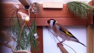 getlinkyoutube.com-مزرعة بيتية لطائر الحسون قمة في الجمال