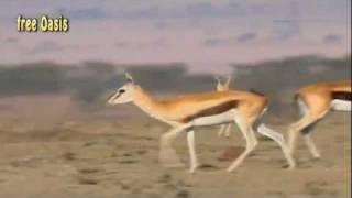 getlinkyoutube.com-ثعبان يبتلع غزال