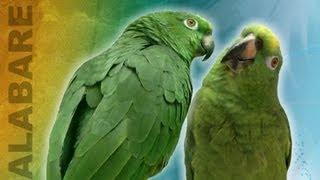 getlinkyoutube.com-Loros cantan alabare! Cantando Alabare