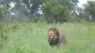 "getlinkyoutube.com-Lion World  ""Big Mak"" & ""Mr.T"" Mapogo On A Patrol"