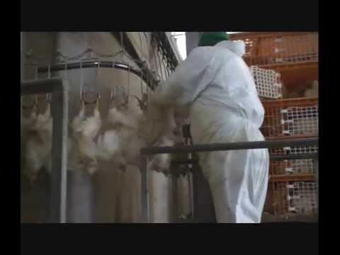 Poultry slaughterhouse - Matadero de aves (2000 p/h)