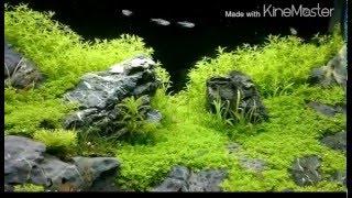 getlinkyoutube.com-石組水槽Ⅲキューバパールグラス