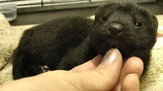 Meet the Domesticated Mink ~ I'm not a coat! ~ CUTE EXPLOSION width=