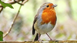 getlinkyoutube.com-Robin Birds Chirping and Singing - Beautiful Video, Bird Song and Nature Sounds in HD