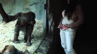Monkeys reactions to pretty girl
