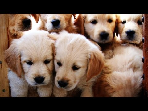 Yorkiepuppies Youtube on Their Uncle   En Youtube   Yt Quality High Cute Puppies Dog Dogs Puppy