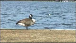 getlinkyoutube.com-Smart Goose - Goose shot by arrow lands in veterinarian's yard
