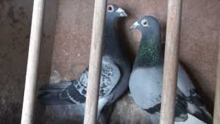 getlinkyoutube.com-Racing Pigeon Germany Champion 1, 2, 3, 4, 5, 6, we import only champions from Netherlands,Belgium