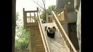 getlinkyoutube.com-Cute pandas playing on the slide