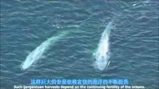 getlinkyoutube.com-الحوت الأزرق ,أكبر حيوان الآن على الأرض
