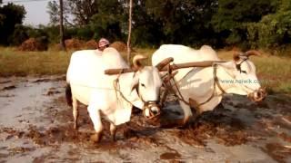 getlinkyoutube.com-Ploughing paddy field with Bulls in Telanagana , India