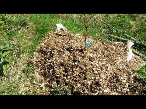 Permaculture orchard walk-through