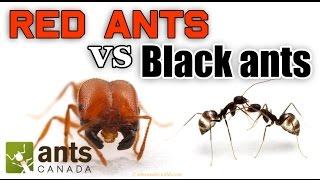 getlinkyoutube.com-WHO WINS: RED ANTS VS BLACK ANTS