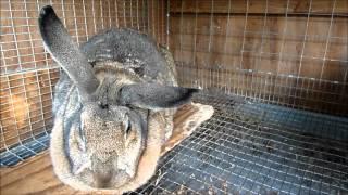 getlinkyoutube.com-Meat Rabbit Update 5-15-13
