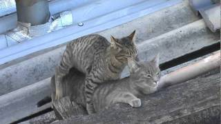 Gatos apareándose - Cats Matting