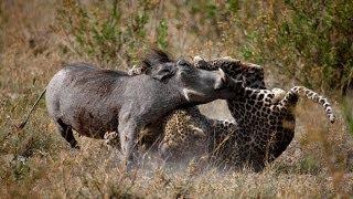 getlinkyoutube.com-Leopard Vs Warthog